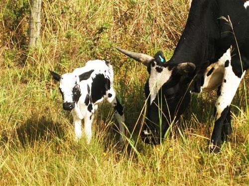 Our wonderful Nguni herd