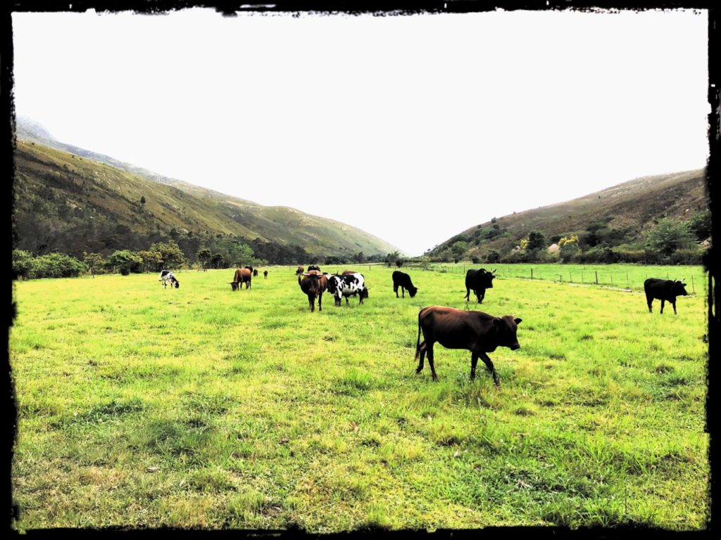 Our herd in the fields.